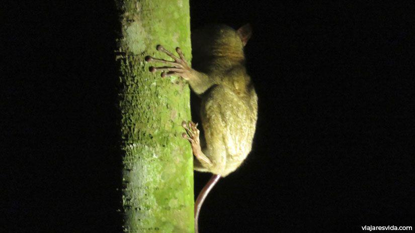 Un ejemplar de tarsier en Tanjung Puting justo antes de pegar un salto de 5 metros
