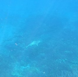 Snorkel Tioman tiburones