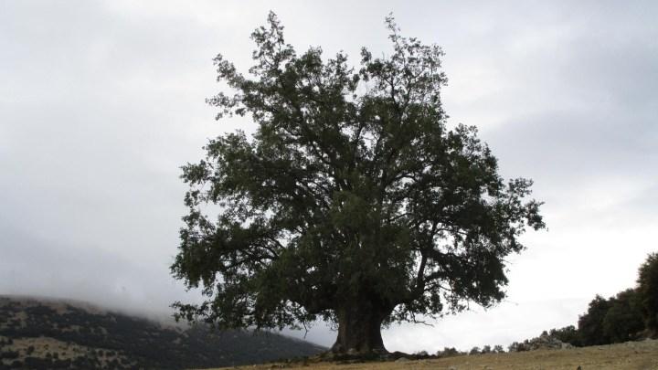 El Quejigo del Amo o del Carbón de Valdepeñas de Jaén con casi mil años de antigüedad