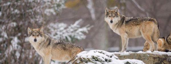 Cómo ver animales en Yellowstone National Park