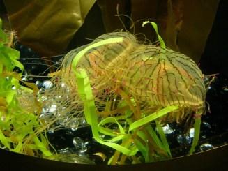 Medusa en el acuario