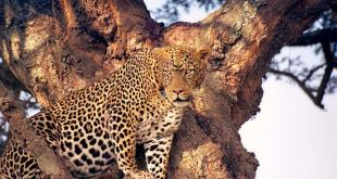 Serengueti