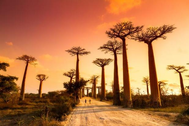 Árboles Baobab en Madagascar