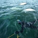 Snorkel com belugas em Churchill