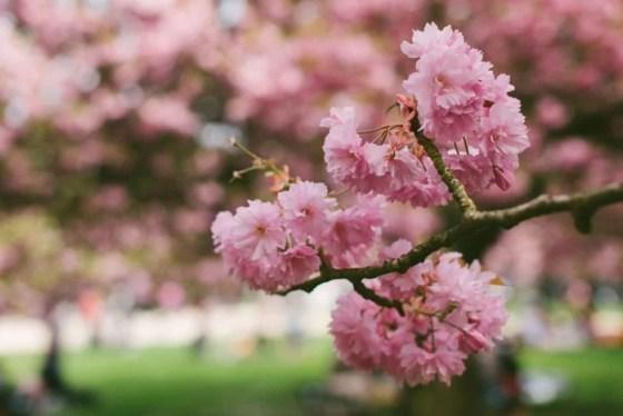 Florada das Cerejeiras em Paris Sceaux