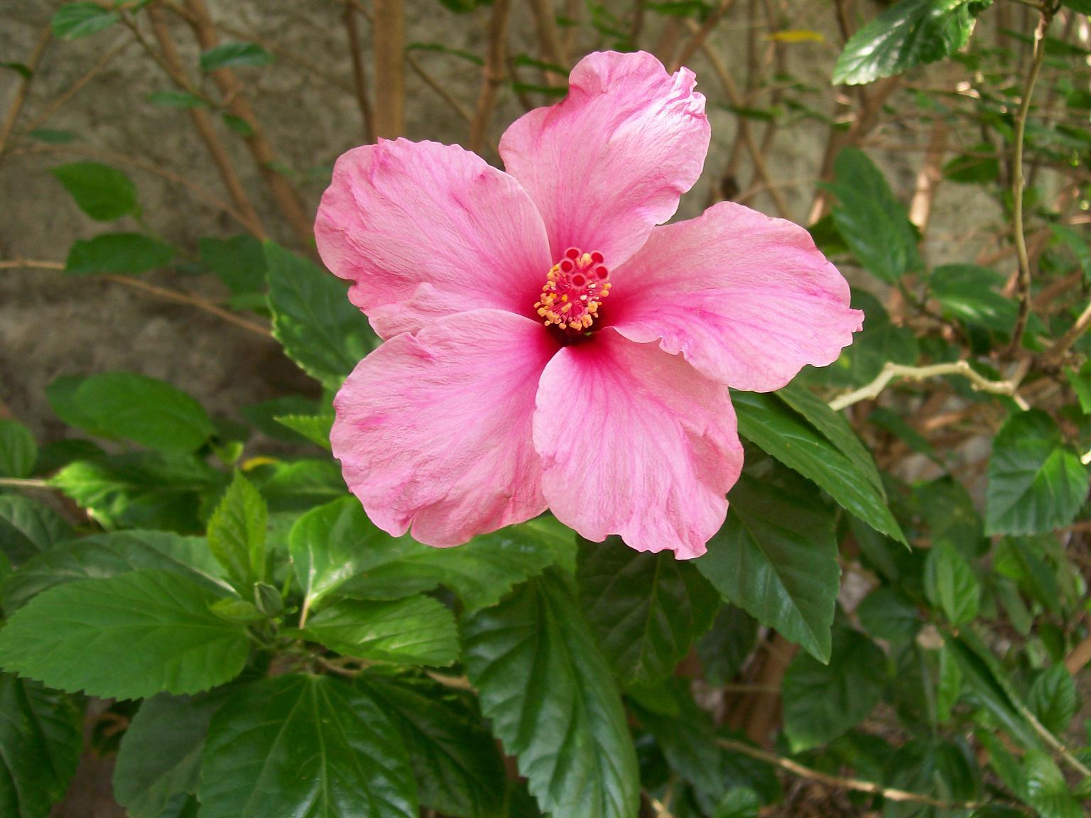 Significado de las rosas rojas fucsias blancas sin - Rosas chinas ...