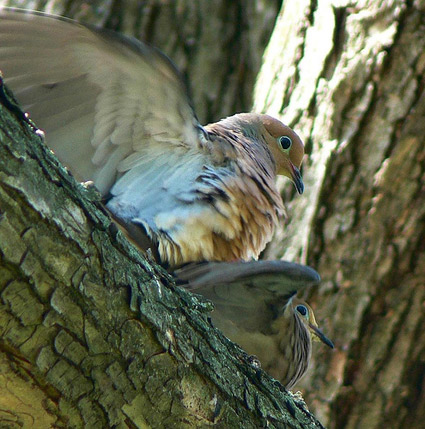 mourning doves mating