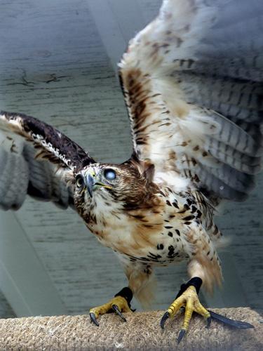 one-eyed hawk