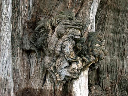 Tule tree burl