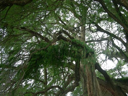 Tule tree canopy