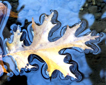 oak leaf in water