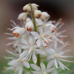 Foamflower by Jennifer Schlick