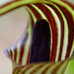 Jack-in-the-Pulpit by Jennifer Schlick