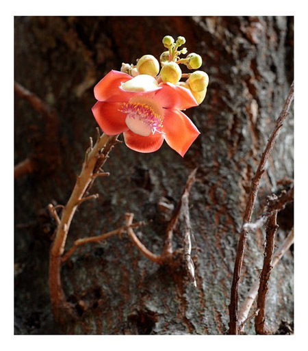Cannon Ball Tree Flower