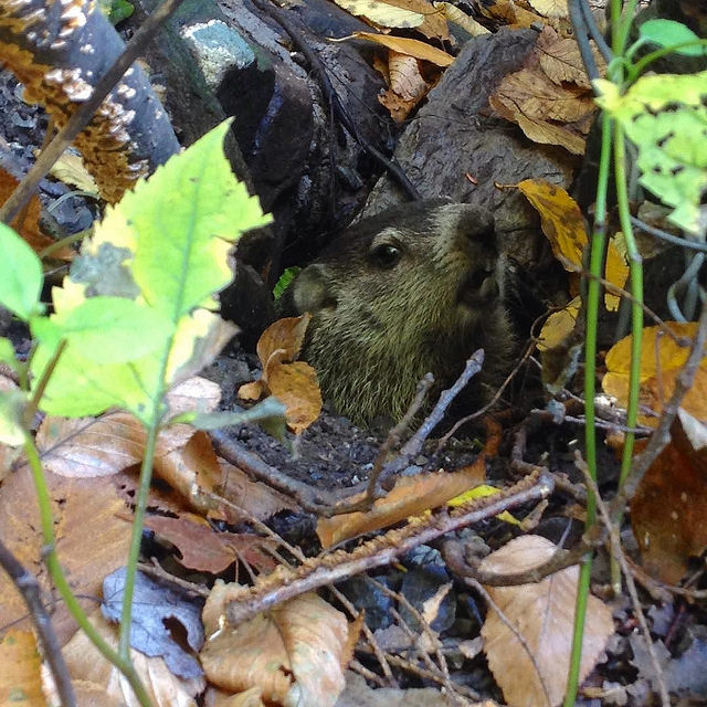 Woodchuck in the woods. Also, yes—a groundhog in the ground.