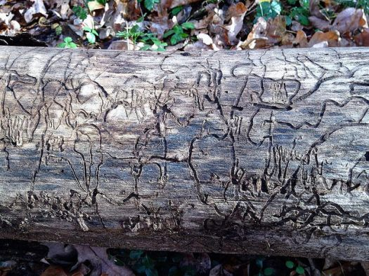 A bare log with complex arborglyphs made by bark beetle larvae.