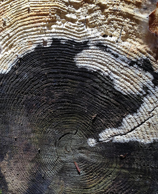 The brown, sawed end of a log, half invaded with a white mold.