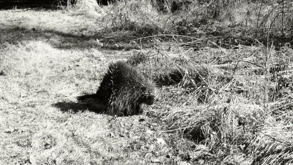 porcupine in dead grass of a winter meadow.