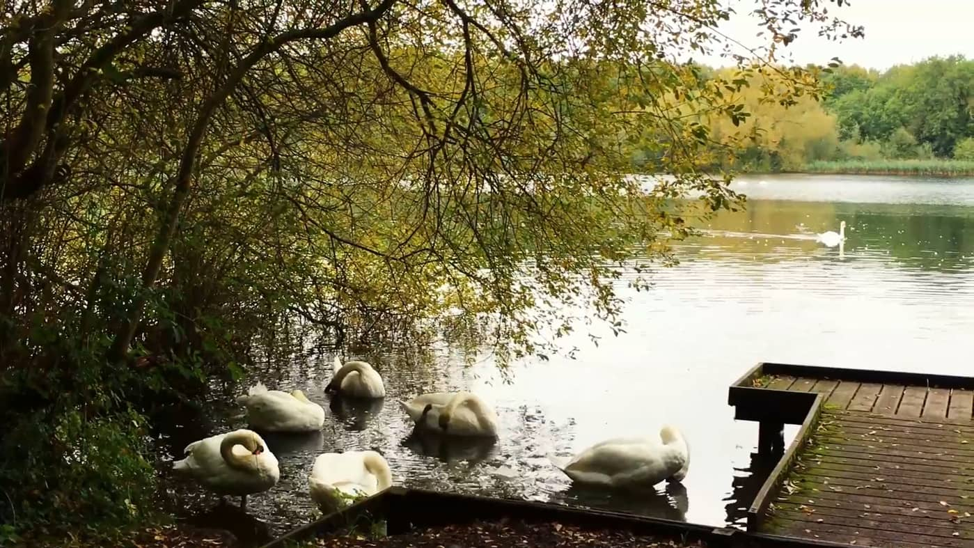 """still from """"Poetry festival"""" showing a small groups of swans preening"""