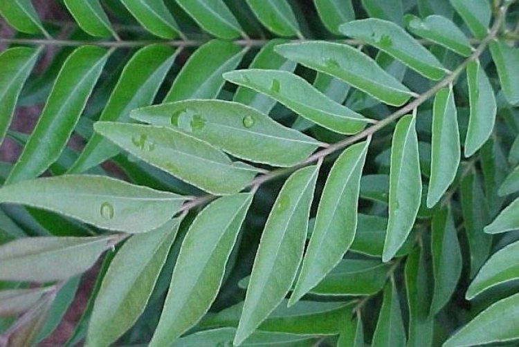 Fresh Curry Leaf