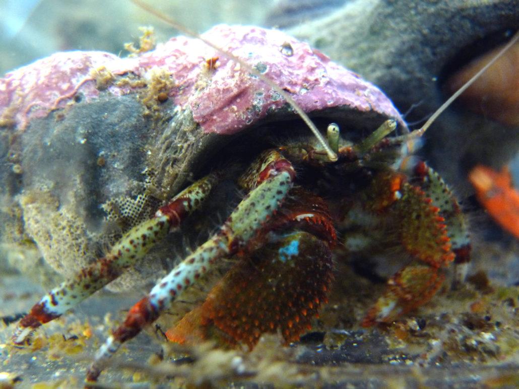 Bering Hermit Crab