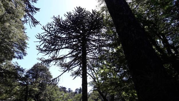 Árvore do Parque Huerquehue, em Pucó