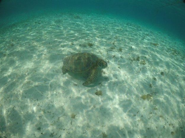 ilha de providencia cayo cangrejo tartaruga
