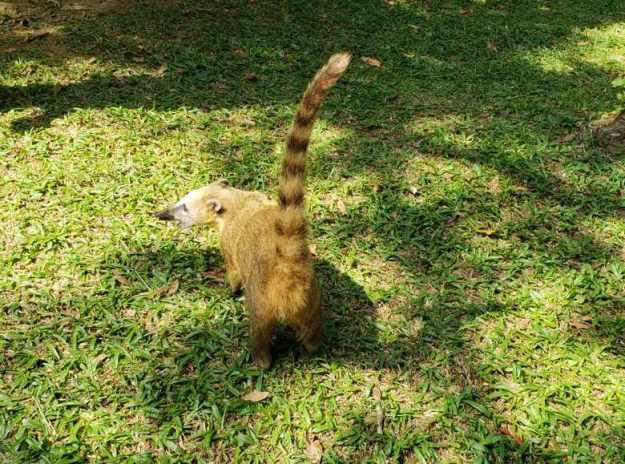 parque nacional da serra dos orgaos teresópolis quati