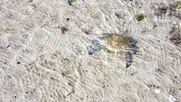 caranguejo azul ilha do japonês