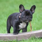 Alberta Bulldog Breeder Ordered To Refund B C Buyer Over Puppy S Behaviour Victoria News