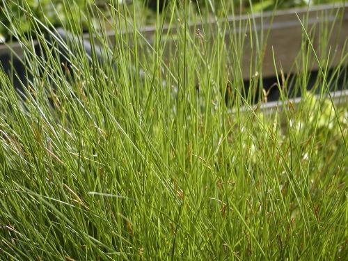 Carex davalliana