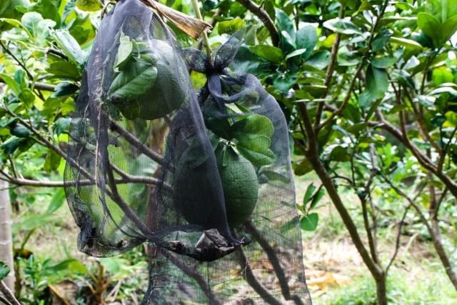 VCT - Fruit Orchard - James Pham-13