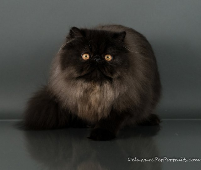 Victoriangdns Black Delight Viola Extreme Face Female Black Persian
