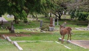 Deer in Ross Bay Cemetery, Fairfield Road, Victoria, B.C.
