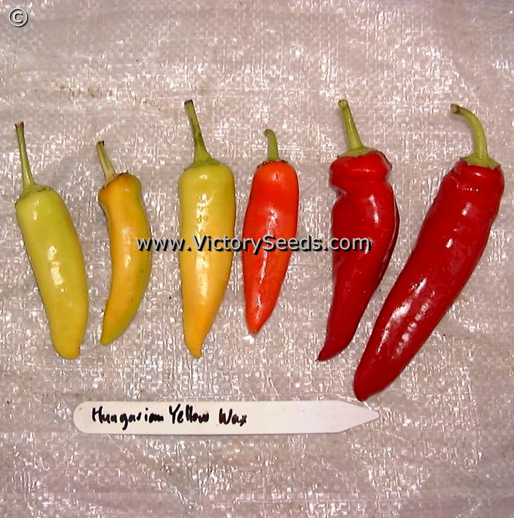 Hungarian Yellow Wax Hot Pepper Heirloom Open Pollinated Non Hybrid Victory Seeds