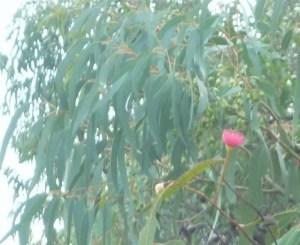 Eucalyptus tree in my garden