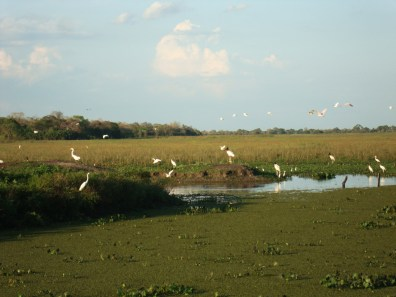 Tuiuiú - Ave símbolo do Pantanal