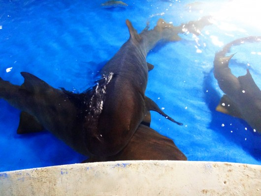 Alimentação dos tubarões - Oceanário Aracaju - SE
