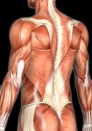 Curiosidades sobre o Sistema Muscular