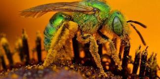 abejas del sudor