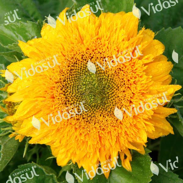 Girassol Dobrado Sungold (Amarelo)