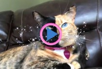gatto due facce