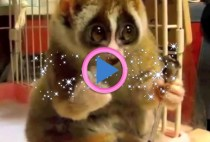 lori lento lemure