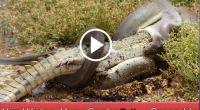 Snake-eating-crocodile1