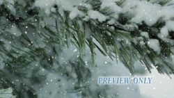 Winter Video: Evergreen And Snow