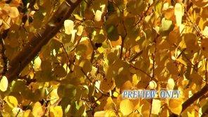 Golden Aspen Leaves: Fall Video Loop