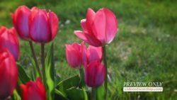 Easter Red Tulips Motion Loop