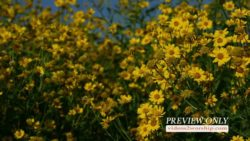 Yellow Flowers Nature Video Loop