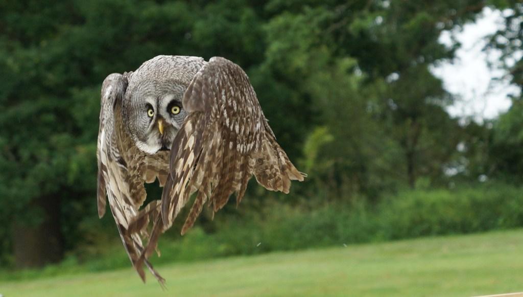 ian-brown-owl-in-flight