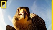 Forget Scarecrows – Falcons Protect This Farm